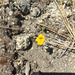Montia-like Monkeyflower - Photo (c) christyb, some rights reserved (CC BY-NC)