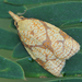 Reticulated Fruitworm Moth - Photo (c) tybird99, some rights reserved (CC BY-NC)