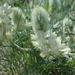 Hedysarum candidum - Photo (c) Дмитрий Епихин,  זכויות יוצרים חלקיות (CC BY-NC)