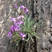 Matthiola fruticulosa valesiaca - Photo (c) murielbendel, some rights reserved (CC BY-NC), uploaded by Muriel Bendel