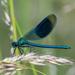 Libélula Azul - Photo (c) Andy Gooden, algunos derechos reservados (CC BY-NC)