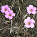 Fynbos Sorrel - Photo (c) Vera Frith, some rights reserved (CC BY-NC)