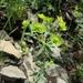 Euphorbia rossica - Photo (c) Aleksandr Ebel, algunos derechos reservados (CC BY-NC)