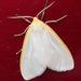 Cycnia - Photo (c) cotinis,  זכויות יוצרים חלקיות (CC BY-NC-SA)