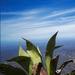 Agave aurea promontorii - Photo (c) Juan Alvarez, algunos derechos reservados (CC BY)