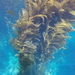 Giant Kelp - Photo (c) Shannon DeVaney, some rights reserved (CC BY-NC)