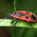 Σκαθάρι Στρατιώτης - Photo (c) Boris Loboda, μερικά δικαιώματα διατηρούνται (CC BY-NC-ND)