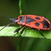 Chinche de la Malva Arbórea - Photo (c) Boris Loboda, algunos derechos reservados (CC BY-NC-ND)
