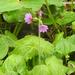 Primula jesoana - Photo (c) Alexander Ganse, algunos derechos reservados (CC BY-NC)