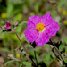 Cistus creticus - Photo (c) Katya, algunos derechos reservados (CC BY), uploaded by katunchik