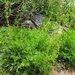 Artemisia norvegica - Photo (c) 2012 Gary A. Monroe, algunos derechos reservados (CC BY-NC)