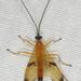 Acrotaphus wiltii - Photo (c) John Morgan, osa oikeuksista pidätetään (CC BY-NC)