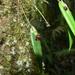Pleurothallis lacera - Photo (c) Holger Beck, μερικά δικαιώματα διατηρούνται (CC BY-NC)