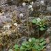 Saxifraga cuneifolia - Photo (c) Giorgio Bardelli, algunos derechos reservados (CC BY-NC)