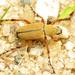 Macrodactylus subspinosus - Photo (c) Katja Schulz, algunos derechos reservados (CC BY)