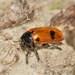 Clytra quadripunctata - Photo (c) Pavel Kirillov, algunos derechos reservados (CC BY-SA)