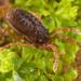 Pettalidae - Photo (c) Gonzalo Giribet, algunos derechos reservados (CC BY-NC)