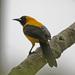 Calandria Dorso Amarillo - Photo (c) Jerry Oldenettel, algunos derechos reservados (CC BY-NC-SA)