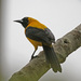 Yellow-backed Oriole - Photo (c) Jerry Oldenettel, some rights reserved (CC BY-NC-SA)