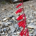 Firecracker Penstemon - Photo (c) Tobi (he/him), some rights reserved (CC BY-NC)