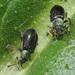 Phyllobius viridicollis - Photo (c) Felix Riegel, algunos derechos reservados (CC BY-NC)