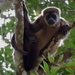 Alouatta palliata aequatorialis - Photo (c) Ronald Navarrete, osa oikeuksista pidätetään (CC BY-NC), uploaded by Ronald Navarrete-Amaya