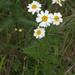 Tanacetum corymbosum - Photo (c) OhWeh,  זכויות יוצרים חלקיות (CC BY-SA)