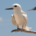 White Tern - Photo (c) Duncan, some rights reserved (CC BY-SA)