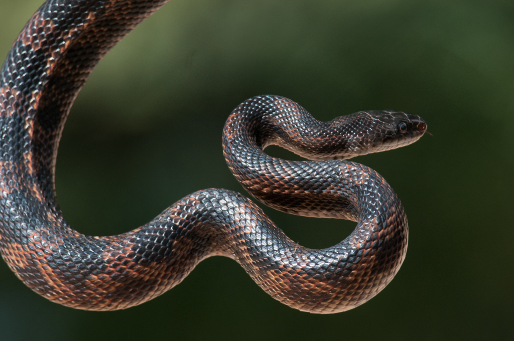 Western Rat Snake (A Guide to Snakes of Southeast Texas) · iNaturalist