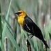 Tordo Cabeza Amarilla - Photo (c) Dan Dzurisin, algunos derechos reservados (CC BY-NC-ND)