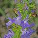 Salvia engelmannii - Photo (c) Jerry Oldenettel,  זכויות יוצרים חלקיות (CC BY-NC-SA)