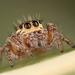 Evarcha jucunda - Photo (c) Rinaldo R,  זכויות יוצרים חלקיות (CC BY-NC-SA)