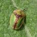 Cassida vibex - Photo (c) nutmeg66, algunos derechos reservados (CC BY-NC-ND)