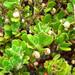 Arctostaphylos pumila - Photo (c) Stan Shebs, algunos derechos reservados (CC BY-SA)