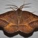 Metarranthis obfirmaria - Photo (c) larrymcdaniel, algunos derechos reservados (CC BY-NC)