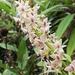 Epidendrum borealistachyum - Photo (c) Elizabeth Santiago Ayala, algunos derechos reservados (CC BY-NC)