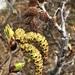 Alnus alnobetula crispa - Photo (c) jdmason,  זכויות יוצרים חלקיות (CC BY-NC)
