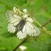 Parnassius stubbendorfii - Photo (c) Alexander Ganse,  זכויות יוצרים חלקיות (CC BY-NC)