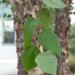 Betula nigra - Photo (c) Maggie, algunos derechos reservados (CC BY-NC)