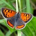 Small Copper - Photo (c) Ronald Werson, some rights reserved (CC BY-NC-ND)