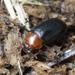 Neomida haemorrhoidalis - Photo (c) Roman Providukhin, algunos derechos reservados (CC BY-NC)