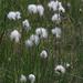 Eriophorum vaginatum - Photo (c) Kari Pihlaviita,  זכויות יוצרים חלקיות (CC BY-NC)