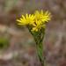 Chrysopsis mariana - Photo (c) John B., algunos derechos reservados (CC BY)