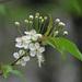Prunus pensylvanica - Photo (c) Charlotte Bill, algunos derechos reservados (CC BY-NC)