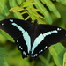 Papilio nireus - Photo (c) Matt Muir, algunos derechos reservados (CC BY-SA)