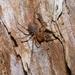 Prasma tuberculata mearosa - Photo (c) Uwe Schneehagen, algunos derechos reservados (CC BY-SA)