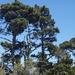 Pino Peninsular - Photo (c) Cathleen, algunos derechos reservados (CC BY-NC)