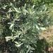 Pyrus elaeagrifolia - Photo (c) melikec, osa oikeuksista pidätetään (CC BY-NC)