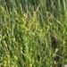 Carex lepidocarpa - Photo (c) Václav Dvořák,  זכויות יוצרים חלקיות (CC BY-NC)