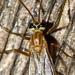 Ichneumonid and Braconid Wasps - Photo (c) Ken-ichi Ueda, some rights reserved (CC BY), uploaded by Ken-ichi Ueda